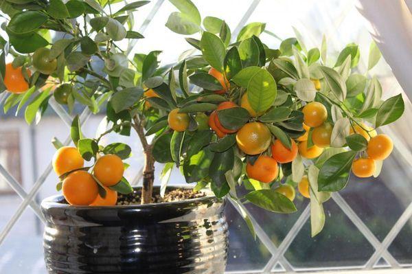 Апельсиновое дерево поливают раз в неделю