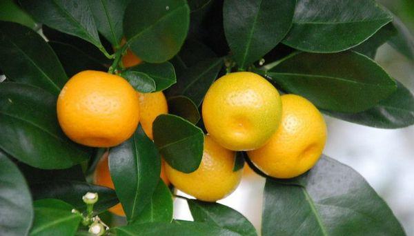 Проводить подкормку апельсина нужно раз в 2 недели