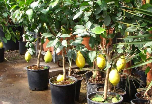 Вырастить комнатный лимон нетрудно
