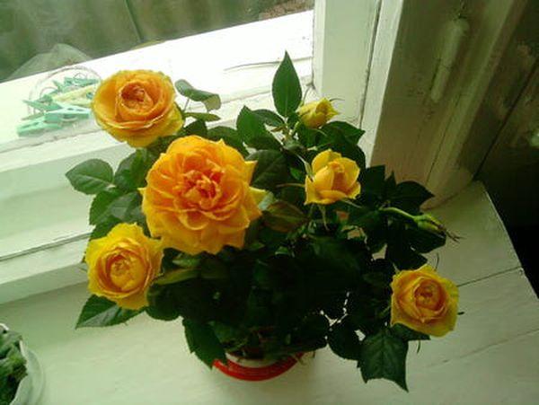 В Европу розу Микс завезли в начале 19 века