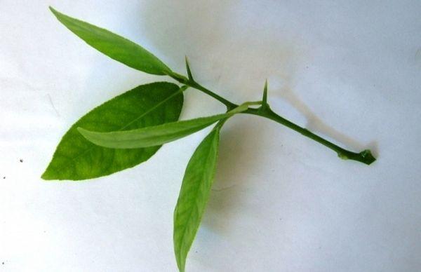 Черенкование – самый распространенный способ размножения лимона