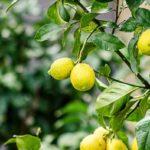 Лимон в домашних условиях вырастить не так просто