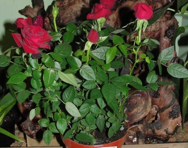 В первые дни адаптации обильно поливайте розу