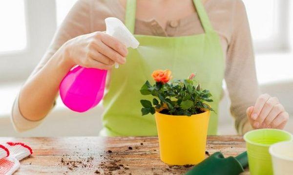 Комнатные растения опрыскивают из пульверизатора