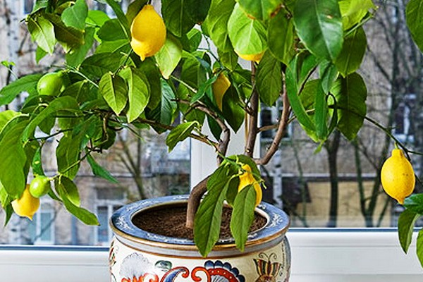 Смена вазона понадобится если лимон останавливается в росте