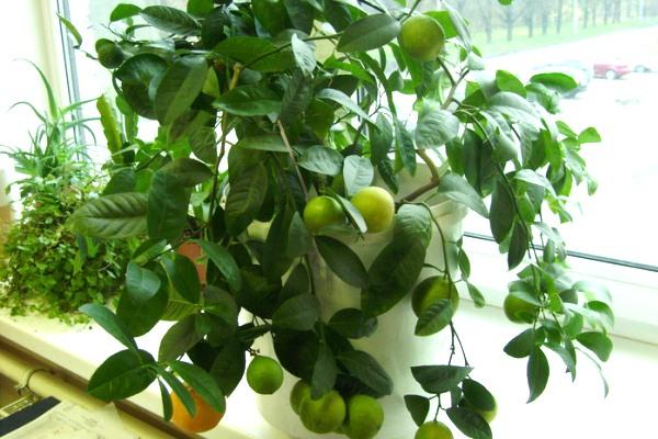 Лимонное деревце высаживают в грунт в конце зимы