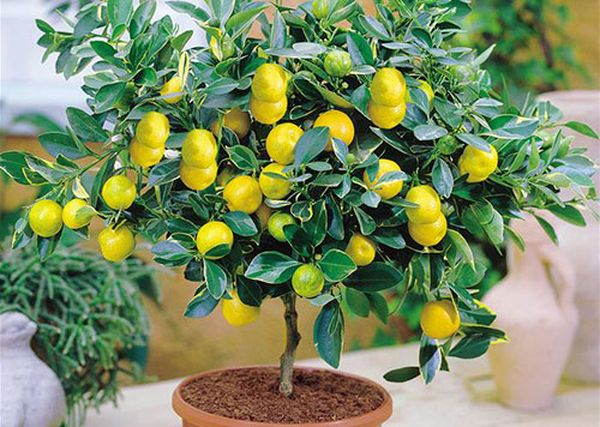 Посадка лимона осуществляется двумя методами