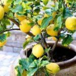 Комнатный лимон требует к себе много внимания