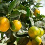 Каламондин - полезный цитрусовый фрукт