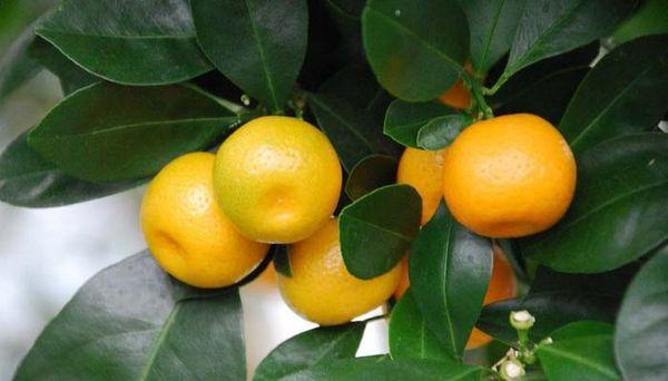 Каламондин – результат скрещивания мандарина и кумквата