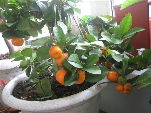 Растение хорошо растет при невысокой влажности