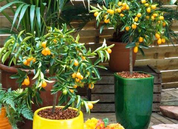 Кумкват можно выращивать в домашних условиях