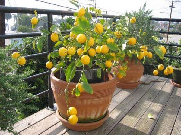 Огромное значение для лимона имеет солнечный свет