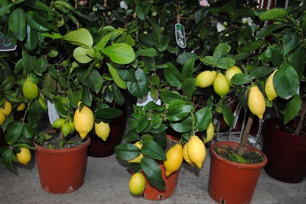 Весной и осенью рекомендуется обеспечить лимону дополнительное освещение