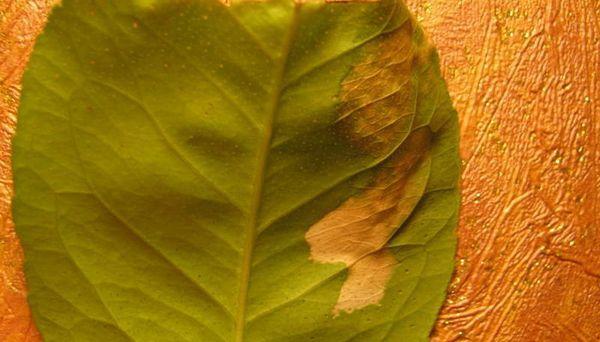 Вирусный недуг тристеза поражает листья