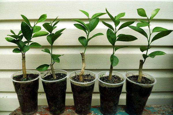 Размножение лимона черенками– распространенный метод