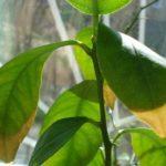 У комнатного лимона могут желтеть листья