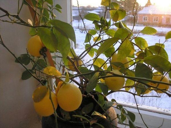 Болезни лимона довольно обширны и разнообразны
