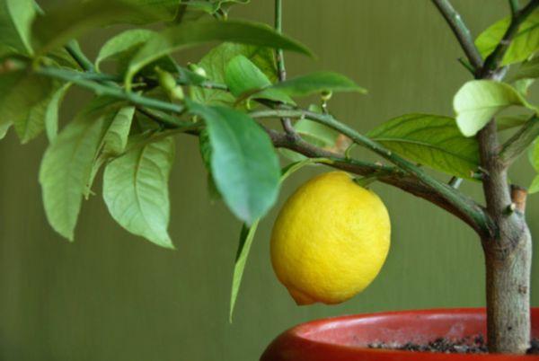 Лимон нужно удобрять минеральными удобрениями