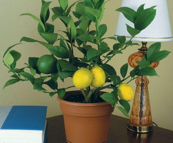 Лимонам необходимо много влаги и света
