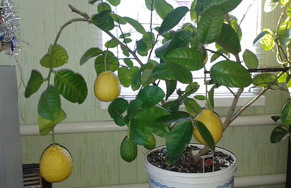 Лимон должно заполнить горшок своим корневищем