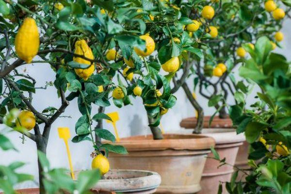 Выращивание лимона редко обходится без нашествия паразитов