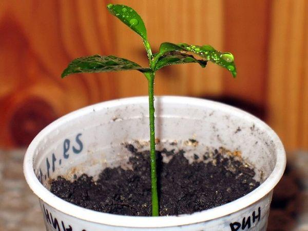 Для посадки мандарина нужно подготовить питательную почвосмесь