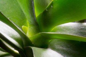 Корень и цветонос орхидеи трудно различить