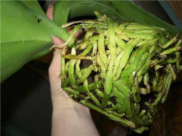Здоровые корни комнатной орхидеи