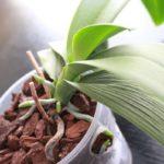 При неправильном уходе у орхидеи могут сохнуть листья