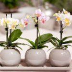 Орхидея требует тщательного ухода