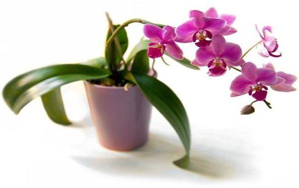 Лучше не сажать орхидею в непрозрачный вазон