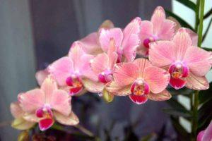 Орхидея - любимое растение многих цветоводов