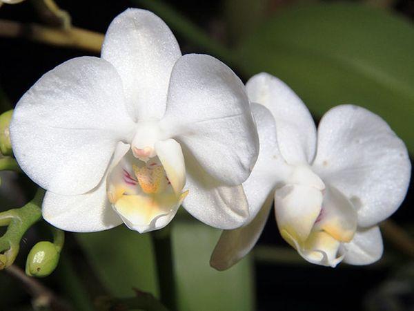 Летом орхидеи поливают 2 раза в неделю