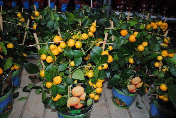 Часто мандариновое дерево подвергается различным болезням