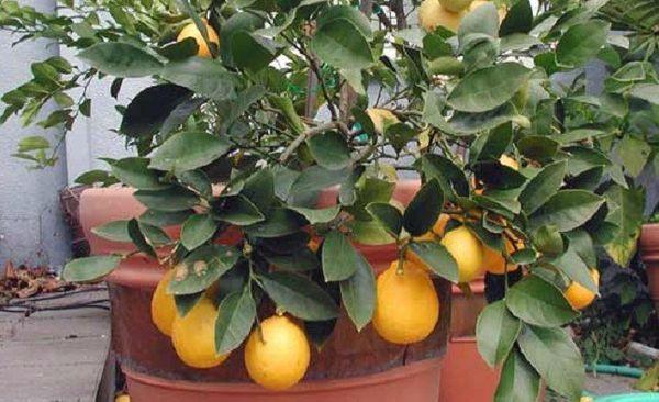 Температурный режим имеет огромное значение для лимона