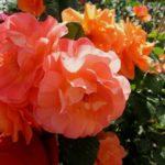 Роза – самое прекрасное и удивительное растение в мире