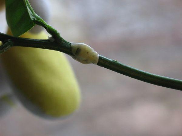 Лимон можно привить на мандарин