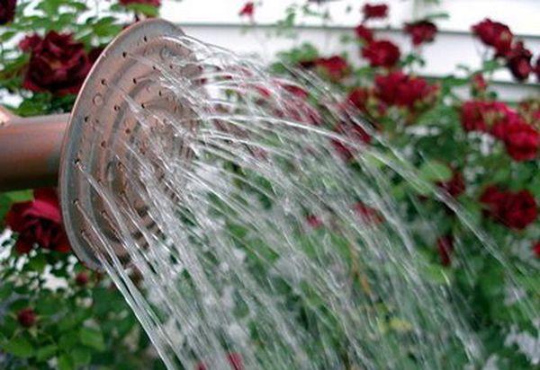 Поливают розы в среднем раз в неделю