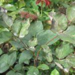 Белый налет на листках розы