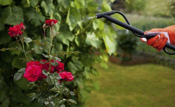 Опрыскивание розы от вредителей