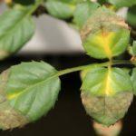 Листья роз желтеют из-за болезней