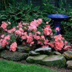 Бордюрная роза украсит любой сад