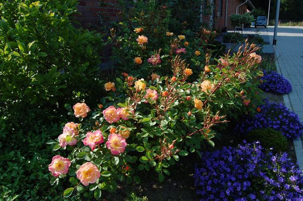 Бордюрные розы Apricot Clementine