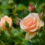 Чайную розу можно выращивать в доме