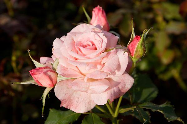 Чайная роза нуждается в правильном поливе