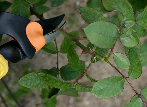 Пораженные листья нужно обрезать и спалить