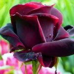 """Сорт розы """"Чёрный принц"""""""