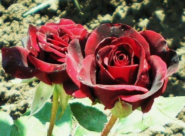 Рекомендуется высаживать цветы в тени