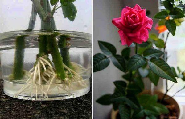 Укоренение розы в воде